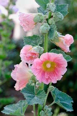 hollyhocks: Closeup of pink hollyhock (Alcea rosea).