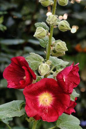 alcea: Detalle de malva real rojo profundo (Alcea rosea).