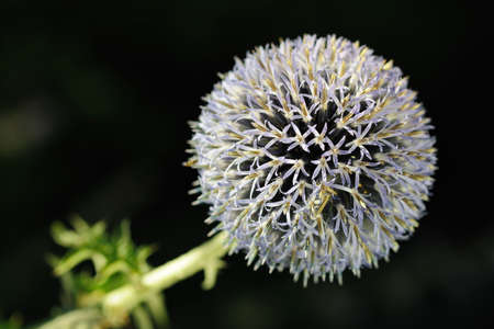 Close-up of a Great Globe Thistle (Echinops sphaerocephalus) a flower with bristly petals in the late afternoon Stock Photo