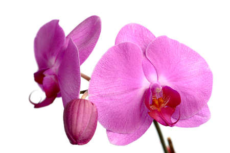A collection of pink Phalaenopsis (moth orchid) blooms