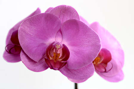 A collection of pink Phalaenopsis (moth orchid) blooms Stock Photo - 7765418