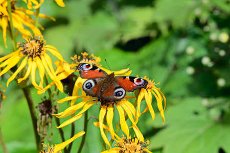 io: European Peacock butterfly (inachis io) on summer ragwort (ligularia dentata) in bright sunshine