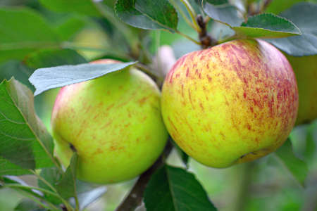 Ripe green English eatiing apples, with a red blush, growing on a tree Stock Photo - 7920770
