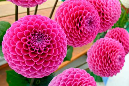 dahlia: Large lilac pink pompom dahlias (