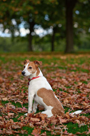 terriers: Parson Jack Russell Terrier sitting in a park among fallen Autumn leaves Stock Photo