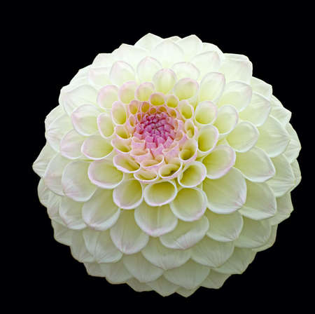 White pom pom dahlia bloom with purple centre, isolated on a black background Stock Photo