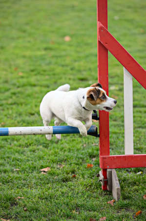Jack Russell Terrier jumping over a hurdle as part of agility training photo