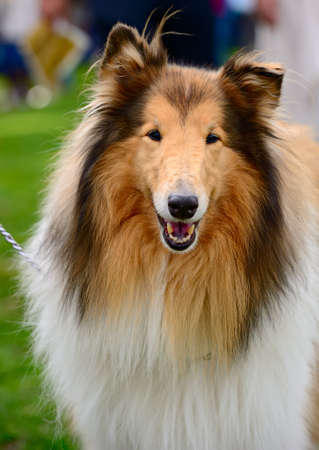 Portrait of sable and white Long-haired (Rough) Collie dog Zdjęcie Seryjne - 8137606