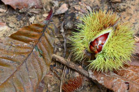 castanea sativa: Sweet chestnuts (Castanea sativa) fallen onto the forest floor