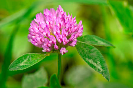 flowerhead: Red Clover (trifolium pratense) flowerhead Stock Photo
