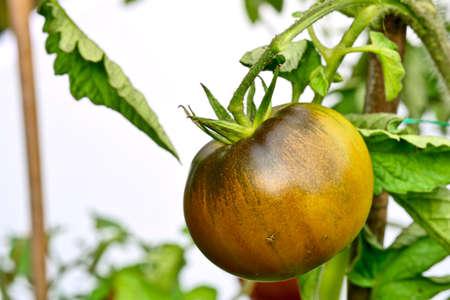 Black Krim -- Ukrainian heirloom tomato originating from Crimea region of Black Sea Stock Photo - 8256291