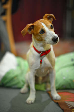 dog ears: Parson Jack Russell terrier sitting in chracteristic pose, with selective focus on eyes