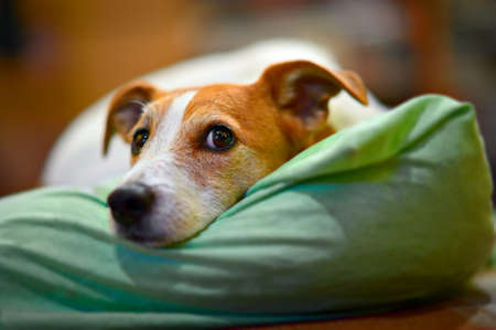 Parson Jack Russell terrier resting on his bed, with selective focus on eyes Zdjęcie Seryjne - 8256292