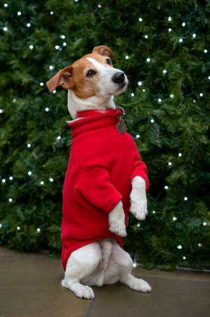 Parson Jack Russell terrier in a red coat sitting up and begging in front of a Christmas tree Stock Photo