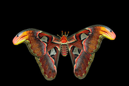 wingtips: Giant Atlas Moth (attacus atlas) isolated on black background.  Note the fake snake heads at the wingtips