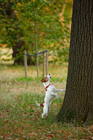barking: Frustrated Parson Jack Russell terrier, standing on his hind legs,  barking up the wrong tree? Stock Photo