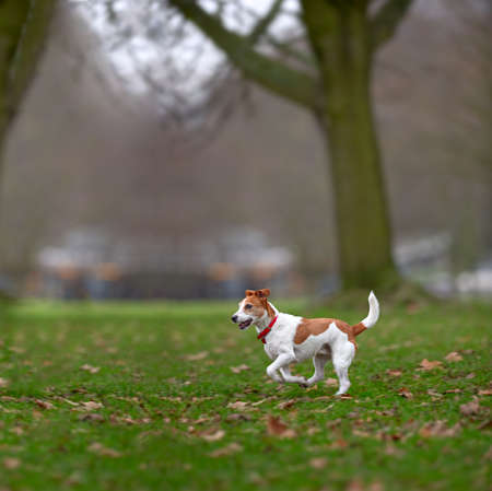 Parson Jack Russell terrier enjoying a run in the park. Stock Photo