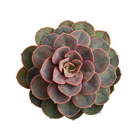 Echeveria rosette from above on white background