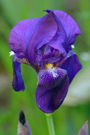 Close-up of Purple Bearded Iris (Iris germanica) photo