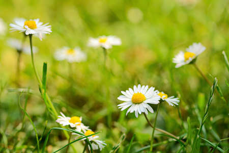 dicot: Daisies in grass lawn on a sunny day, with selective focus on front flower