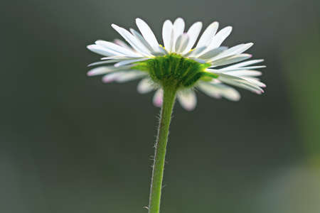 dicot: Single common daisy flowerhead from below