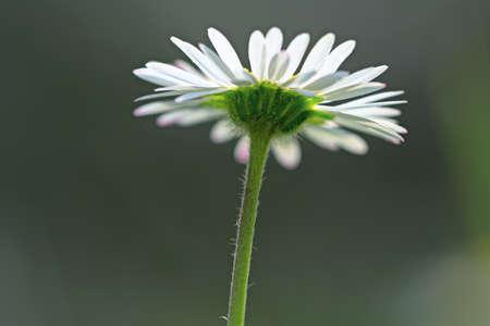 dicot: Singolo comune daisy flowerhead dal basso