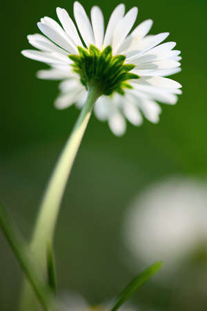 dicot: Single common daisy from below