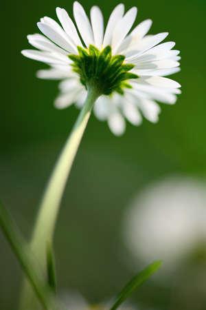 dicot: Single daisy comuni dal basso