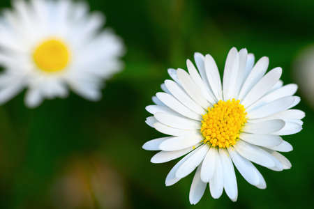 dicot: Top view of a common daisy flower head Stock Photo