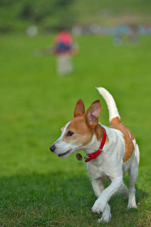 Parson Jack Russell Terrier running in a park, ears and tail in the air