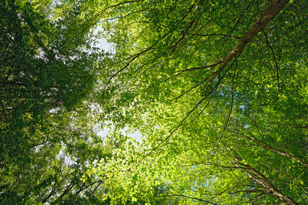 green leafs: Backlit beech tree canopy on a sunny  day. Makes an attractive background. Stock Photo