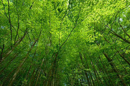 Backlit beech tree canopy on a sunny  day. Makes an attractive background. Stock Photo