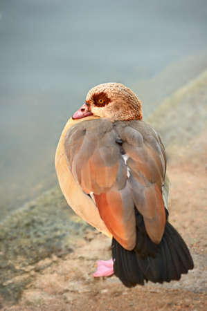 alopochen: Egyptian Goose (alopochen aegyptiacus) resting on one leg by the edge of a still pond. Stock Photo