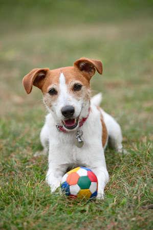 perros jugando: Parson Jack Russell Terrier jugando con una pelota en la hierba
