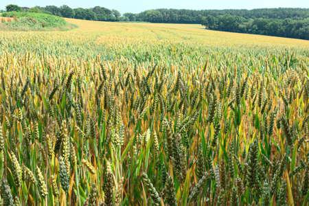 cultivo de trigo: Campo de maduraci�n espigas de trigo
