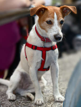 harness: Smooth coated Parson Jack Russell Terrier sitting, looking down