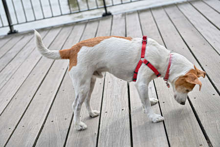 slits: Curious Parson Jack Russell Terrier peeking through the cracks of the decking