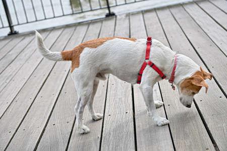 terrestrial mammals: Curious Parson Jack Russell Terrier peeking through the cracks of the decking