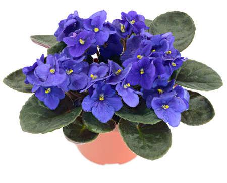 violeta: Violeta africana en maceta (Saintpaulia ionantha) aisladas sobre fondo blanco