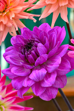 flowerhead: Magenta chrysanthemum flower head