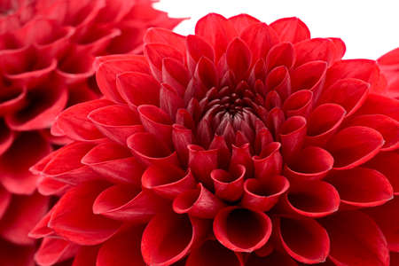 flowerhead: Red chrysanthemum flower head