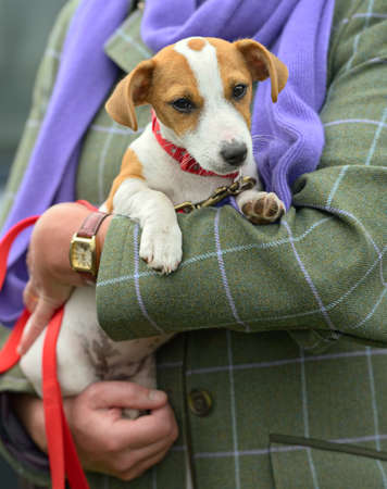 cuteness: Jack Russell Terrier puppy being cradled Stock Photo