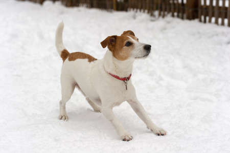 Playful Parson Jack Russell Terrier ready for a game in the snow Stock Photo - 12501306