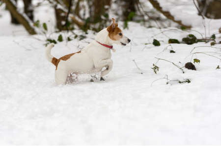 Excited Parson Jack Russell Terrier wading through deep snow