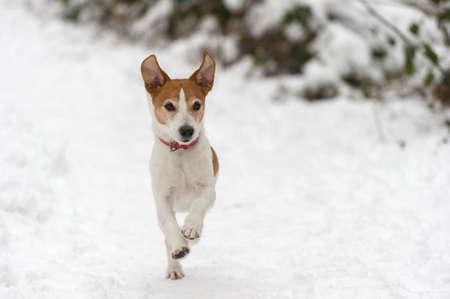 perro corriendo: Parson Jack Russell Terrier corriendo a toda velocidad hacia la cámara en la nieve, las orejas en el aire Foto de archivo
