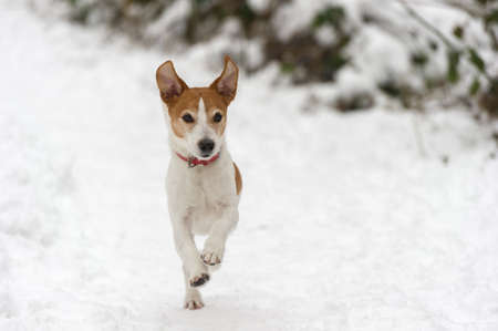 cuteness: Parson Jack Russell Terrier running at full speed towards the camera in the snow, ears in the air Stock Photo