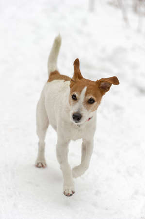 Parson Jack Russell Terrier enjoying a run in the snow photo