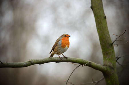 rubecula: European Robin Redbreast  erithacus rubecula melophilus  perched on a branch