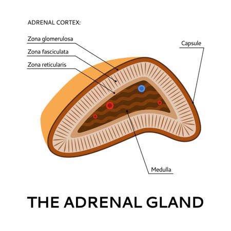 gland: The adrenal gland, medical scheme from the point of view, Vector flat illustration