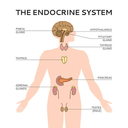 testes: Schematic colorful vector illustration of endocrine system in flat style